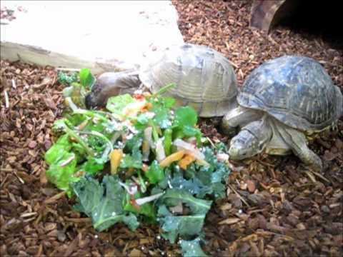 Feeding Box Turtles