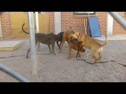 Play Time For 5 Doggies At Pima Animal Care Center -Dusty-Aleesha-Rain-Twoshey-Percy 1-25-18