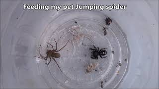 Download Jumping Spider Vs Brown Recluse Video