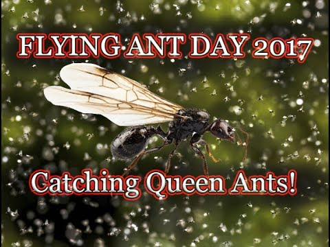 ❗❗ Flying Ant Day 2017 ❗❗ How To catch a Queen Ant❗❗ Lasius Niger and Myrmica Rubra
