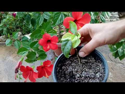 How to grow Hibiscus from cutting