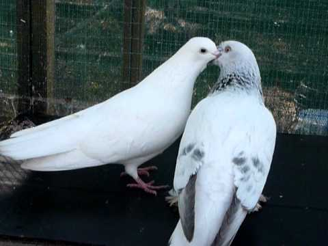 Pigeons kissing and mating