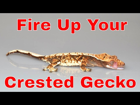 How to make your crested gecko fire up and the importance of UVB