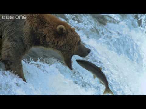 HD: Grizzly Bears Catching Salmon - Nature's Great Events: The Great Salmon Run - BBC One