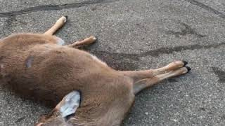 A dead deer that comes back to life