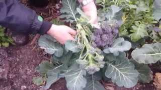 Harvesting Purple Sprouting Broccoli