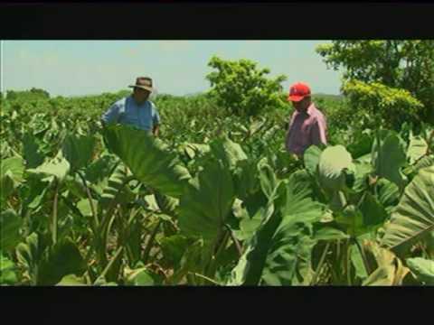 Validar el potencial de rendimiento y adaptabilidad del cultivo de malanga