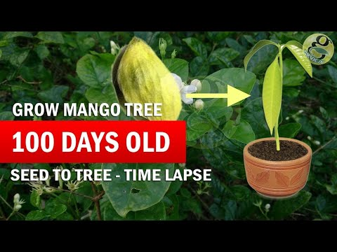 How to Grow Mango Tree From Seed (Raw) - Mango seed Germination Time-Lapse - Part 2