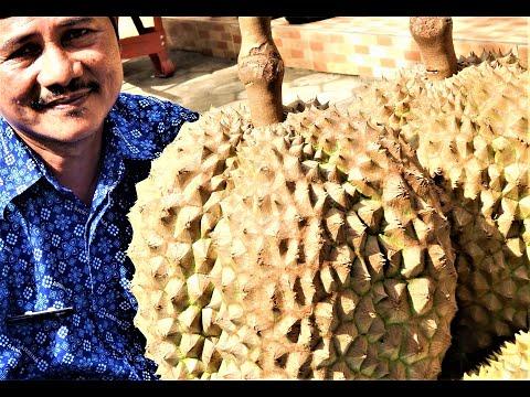 TERBONGKAR! Rahasia Besar Bibit Durian Bawor