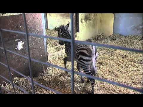 Blackpool Zoo celebrates birth of Hartmann's Mountain Zebra