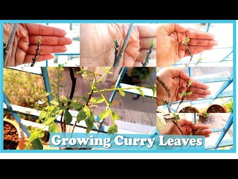 Grow curry leaves in 5 easy steps| How to save your dying curry leaves plant