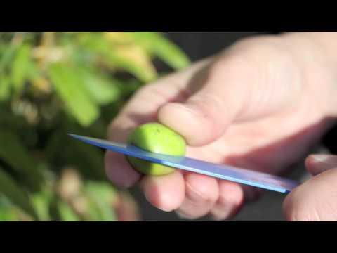 Cure Olives. Part 2. Score them, Brine them.