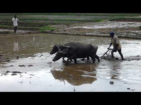 Sri Lanka,ශ්රී ලංකා,Water Buffalo ploughing a rice field, rice paddy