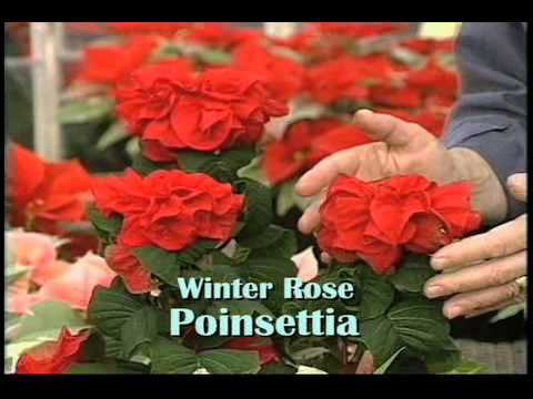 Christmas Poinsettias with Ed Hume
