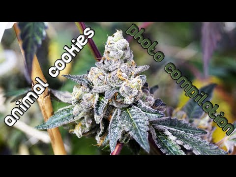 Animal Cookies Bud-Porn/Photo Mash-Up - Late Flower and Pre-Harvest Shots!