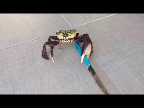 Viral Video UK: Gangster crab!