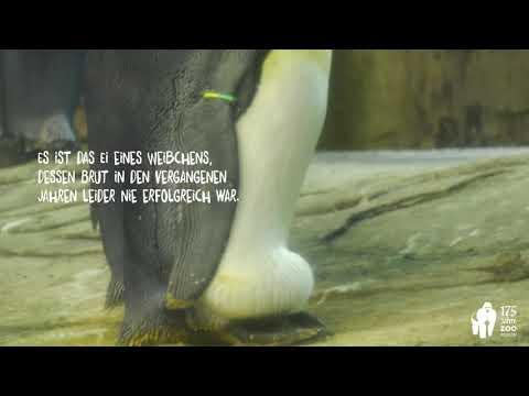 Xxx Mp4 Gleichgeschlechtliche Pinguine Brüten Ei Im Zoo Berlin Aus Same Sex Penguins Hatch An Egg 3gp Sex