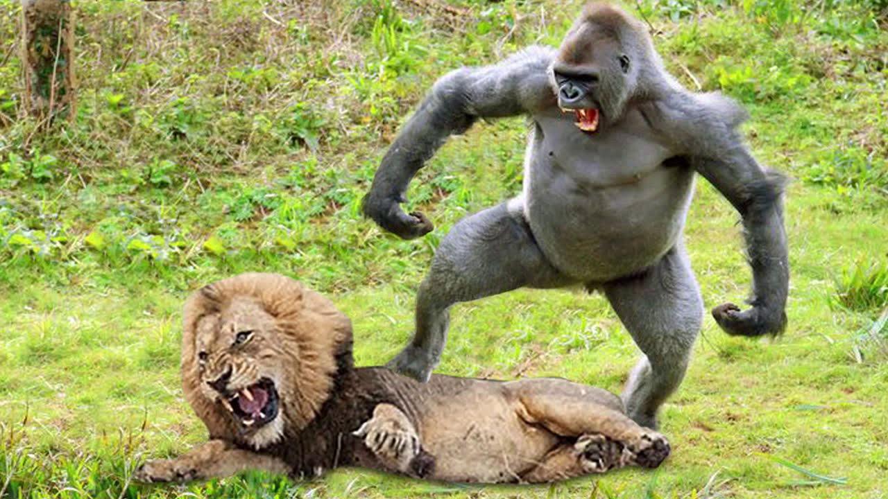 Lions Hunt Baby Gorilla, Herd Gorilla Panic Carry Baby On His Back Run Away, Baboon vs Wild Dogs