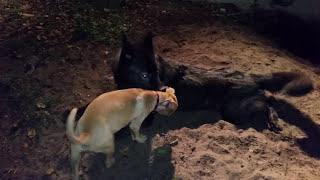 Wolfdog VS Pitbull Puppy (So Cute!)