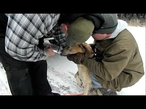 Removing Hounds Snout Full of Porcupine Quills