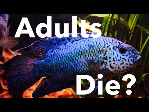 Electric Blue Jack Dempsey Adults DIE? Full Grown