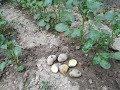 Download  SoyduĞunuz Patates Kabuklarini Atmayin Patates Olsun.do Not Keep The Potato Caps With Potato.  MP3,3GP,MP4