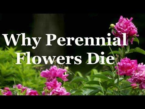 Why Perennial Flowers Die