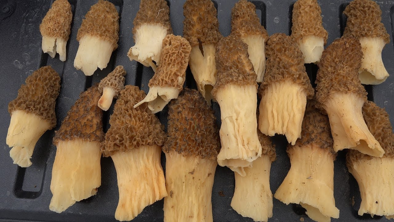 MOREL MUSHROOM HUNTING GUIDE + TREE IDENTIFICATION HOW TO FIND LOCATE HARVEST COOK STORE MORELS 2021