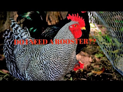 Do my Hens Need a Rooster to Lay Eggs?
