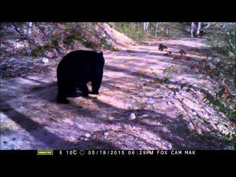 white-tailed deer, black bear, moose - late spring