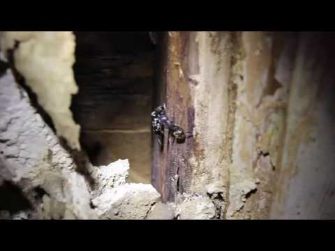 Carpenter ant nest in the wall
