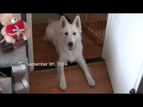 Snow, the white shepherd, is doing his job as an seizure alert dog / epilepsy dog