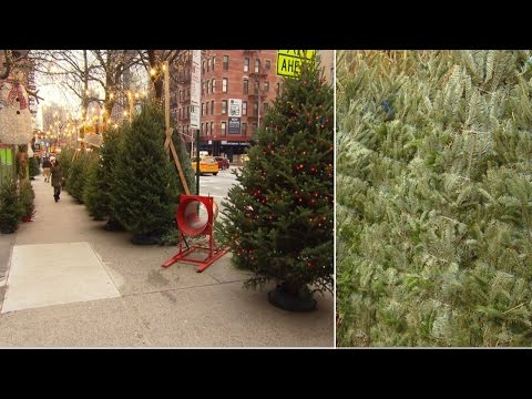 NYC Christmas Tree Vendor Charges $1,000 For Rare Holiday Firs