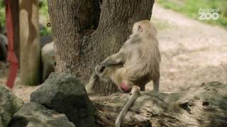 Zoo Tales - Ice blocks for baboons