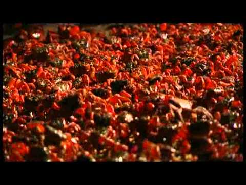 ANIMAL NATION - RED CRABS CRAZY ANTS