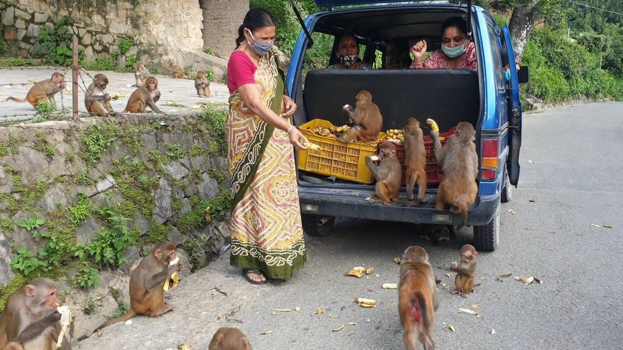 A Man Feed Banana to hungry Monkey  | monkey love bananas