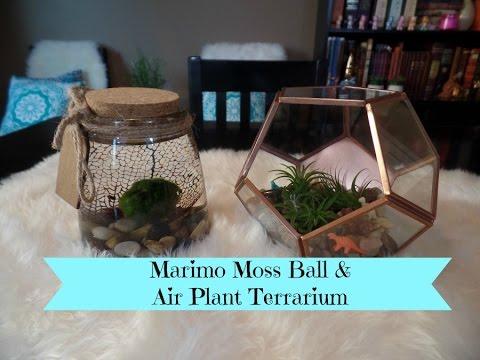 Marimo Moss Ball Aquarium & Air Plant Terrarium DIY Project