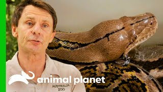 Reticulated Python Needs Extra Help To Shed Her Skin | Crikey! It
