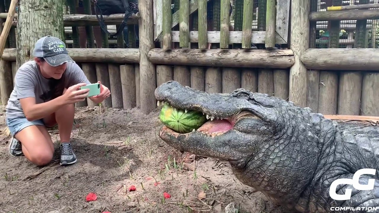 Animals Smash HUGE Watermelons in ONE BITE Compilation | Alligator | Hippo | Turtle | Elephant 2020