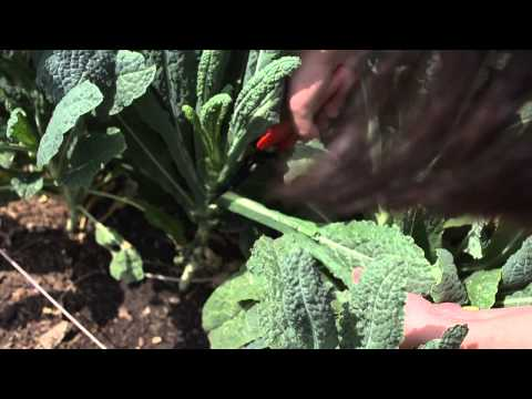 The Garden Minute: Cut and Come Again - Harvesting Kale
