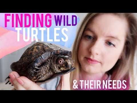 Finding Wild Turtles & Why They Belong In The Wild | Full Box Turtle Care