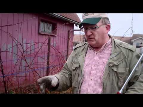 Thinning Raspberries Part Two