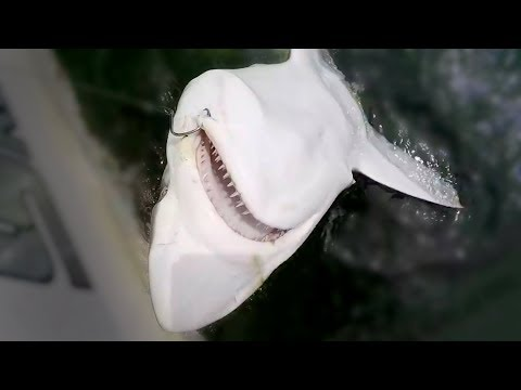 SHARK FISHING TIPS - HOW TO CATCH SHARKS - TIPS ON BAIT AND TACKLE FOR SHARK FISHING
