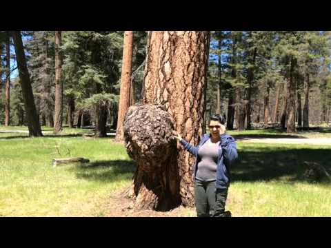 Tree Burl