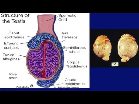 Lecture 15 part 2- Temperature Control of Testes for Bulls