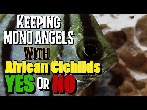 Mono Angel Monodactylus Sebae with African cichlids