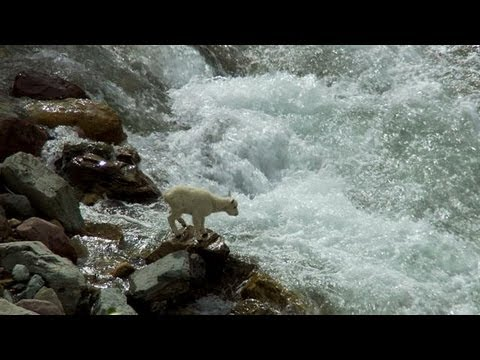 GOATS CLIMBING ON A 160-FOOT-TALL DAM IN ITALY | Discovery Animal Planet