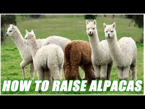 How To Raise Healthy Alpacas