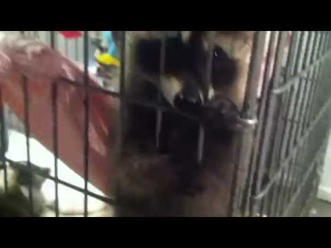 Baby Raccoons Playing with Toddler Toys