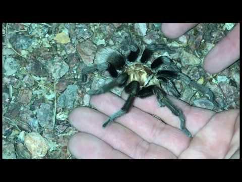 Finding a wild Tarantula